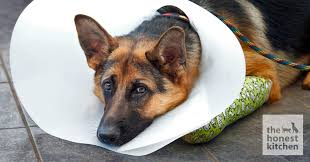 dog wear an elizabethan collar