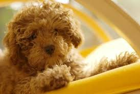 improve your toy poodle knowledge