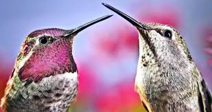Resultado de imagen de colibri apareai