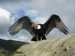 Andean Condor-Bolivia National Bird | Condor dos andes, Passaros ...