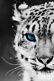 snow leopard pictures wallpaper