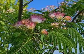 sering dikira cuma rumput liar ini khasiat ajaib tanaman putri