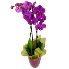 phalaenopsis orchid free uk delivery