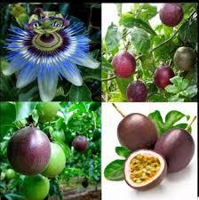 Tropikal Egzotik tutku meyvesi passiflora... - tropikmeyve_sepetim