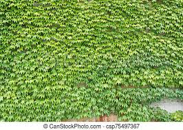 Ivy green leaves growing on a wall background.