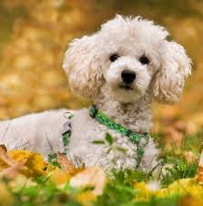 ing or adopting a toy poodle
