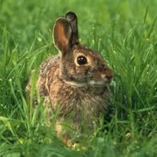 Keeping Rabbits Out Of The Kitchen Garden Finegardening