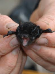 Bats are maligned as disease carriers, but our world wouldn't function  without them - ABC News