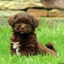 shih poo breed info greenfield puppies