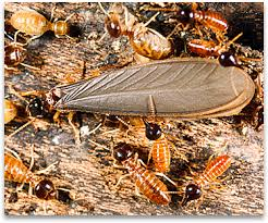 Download Drywood Termites Droppings Images