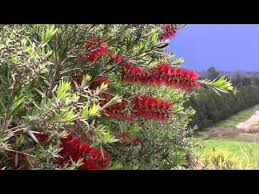 Slim Callistemon Naturally Narrow Growing Bottlebrush Ozbreed Native Shrubs Groundcovers Youtube