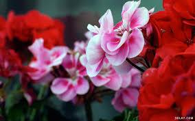 صور ورود وزهور عاليه الجوده ريموووو