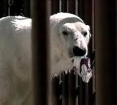 Binky Polar Bear Wikipedia