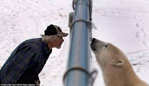 Polar Bear And Tourists Come Nose To Nose In Churchill Manitoba Daily Mail Online