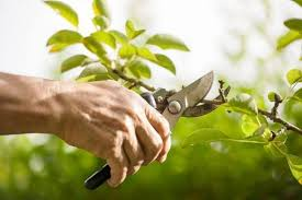 The Basic Rules of Pruning Trees