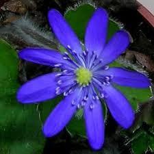 Hepatica transsilvanica Ada Scott – Растения от Марины Цениной