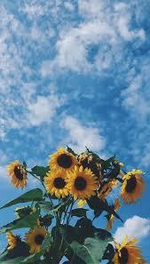 sunflower wallpaper uploaded by