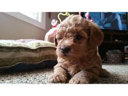 apricot and 2 black toy poodle puppies