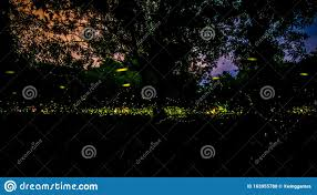Firefly Or Fireflies Flying In The Forest At Night Time In Prachinburi Thailand Stock Photo Image Of Environment Leaf 163955788
