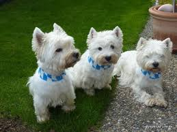 Private Octoberfest in our garden - watch out for the bavarian colours in  the collar. This is Enzo, Annie and Cleo | Westies, Scottie terrier, Puppies