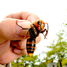Asian Giant Hornets, a.k.a. 'Murder ...
