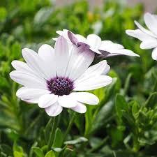 osteoum asti white cape daisy