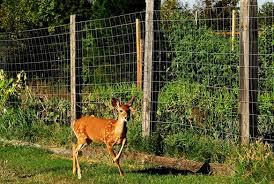 keep deer out of vegetable garden
