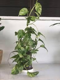 potho money plant with water bottle pot