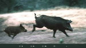 feral pig chases tx hikers but it