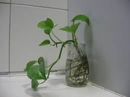 grow money plant indoors in water