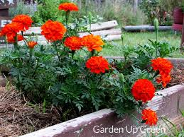 marigolds can benefit the garden