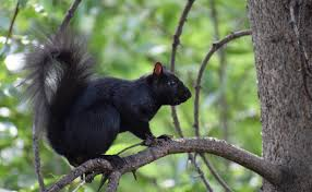 A picture of a black squirrel in a forest.