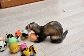 ferret toys homemade ideas