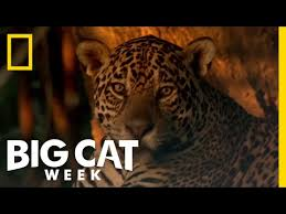 learn about the jaguar big cat week