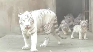 adorable baby white tigers