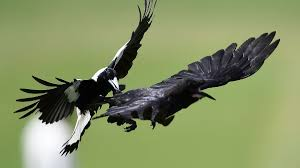 Magpie season: Why do Australians hide ...