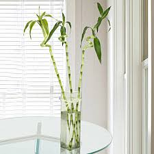 gift spiral bamboo plant in a glass vase