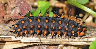 Great Spangled Fritillary Caterpillar