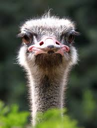 Ostrich by AnthonyGurr | Laughing animals, Animals images, Funny birds