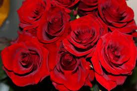 ورد قرنفل احمر ورد القرنفل رمز الحب والسعادة حلوه خيال