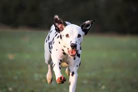White and black dalmatian puppy on green grass field during ...