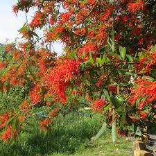 chilean flame tree clarenbridge