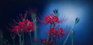 spider lily flowers nature