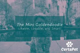 The Mini Goldendoodle Likable Lovable And Smart Certapet