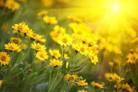 صور أجمل زهور عباد الشمس للفوتوشوب صور ورد وزهور Rose Flower Images