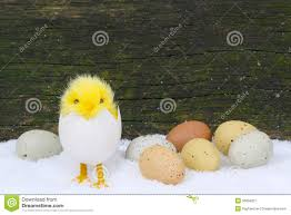 Chicks And Easter Eggs In Snow Stock Image - Image of consumption ...