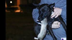 Dogs hunting rats in NYC ...