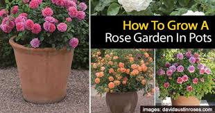 tips for growing a rose garden in pots