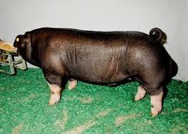 Swine Discovery - Breeds - Poland China | Animal & Food Sciences