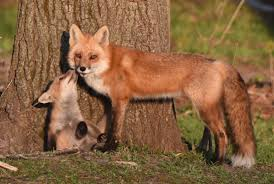 fox family makes for great observation